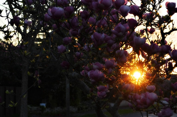 Beautiful magnolias